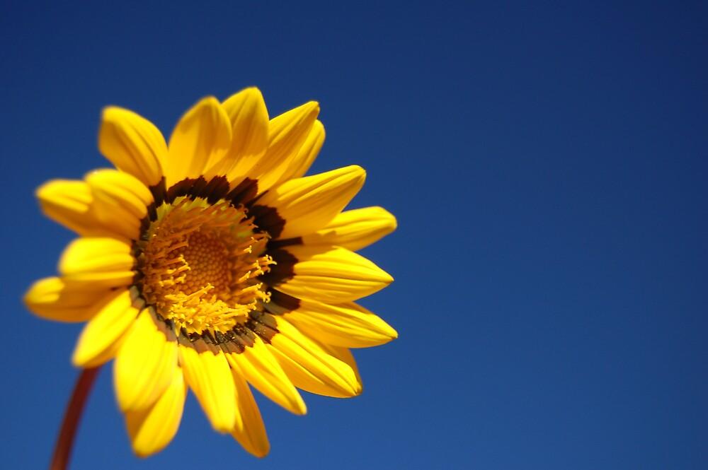 Sunflower by BobbyF