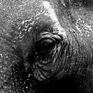 Elephants eye by clickwizzclick