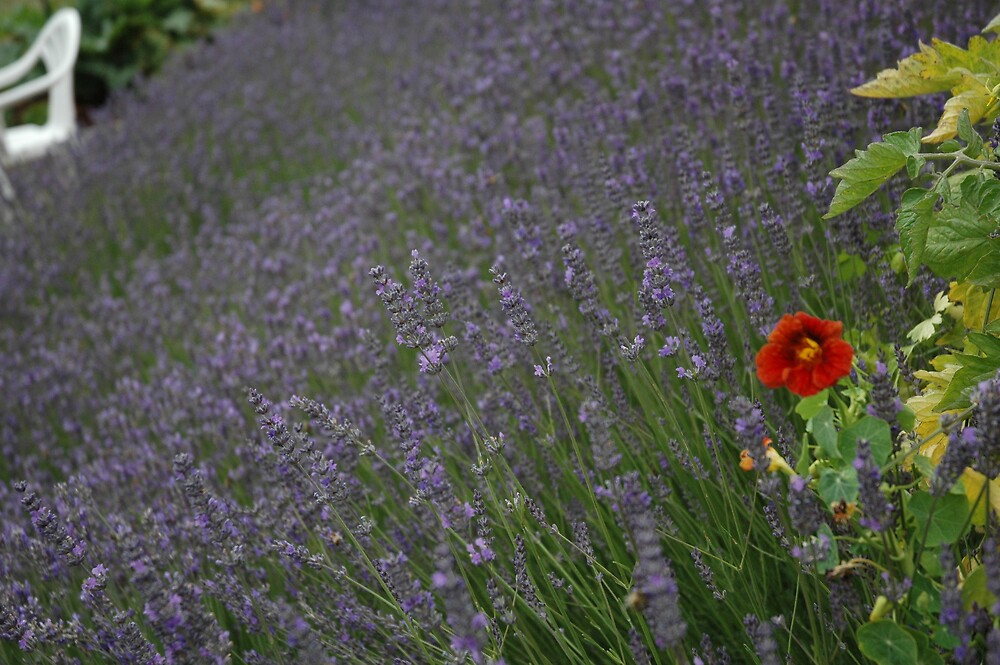 Red Flower in Lavender by annabelkidman
