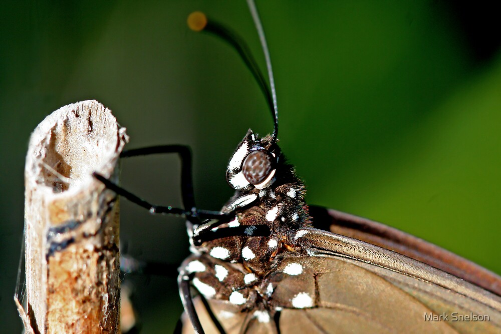 Butterfly 2 by Mark Snelson