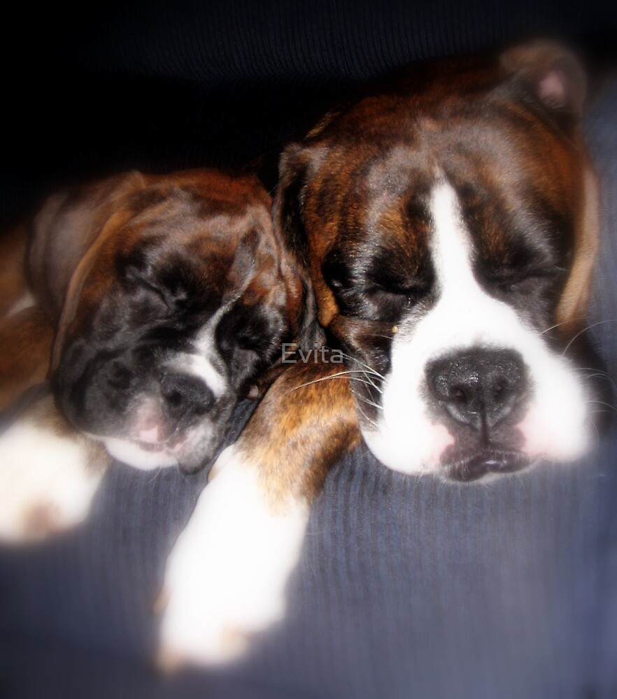 Two Dogs Dreaming........ -Boxer Dogs Series- by Evita
