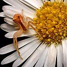 Crab Spider by Frank Yuwono