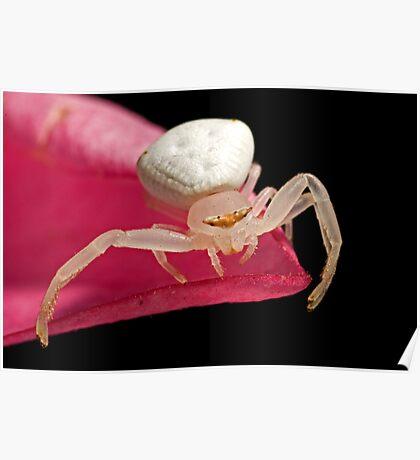 Crab Spider on Frangipani Poster
