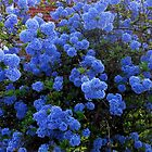 Californian Lilac (Ceanthus) by VoxCeleste