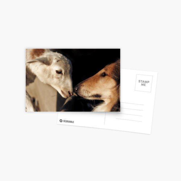 The Sheepdog Postcard