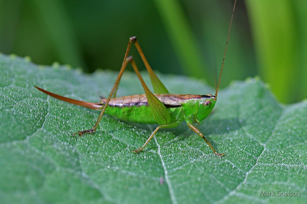 Grasshopper 16 by Mark Snelson