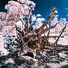 Wandoo roots IR by BigAndRed