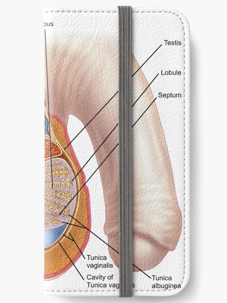 Fundas tarjetero para iPhone «Anatomía de los testículos masculinos ...