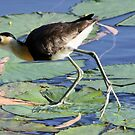 Australian Water Birds by triciaoshea