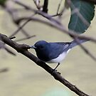 Leaden Flycatcher by triciaoshea