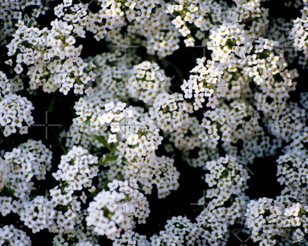 Alyssums white by georgiegirl