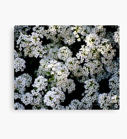 Alyssums white Canvas Print