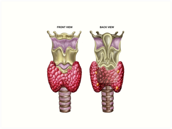 Láminas artísticas «Anatomía de la glándula tiroides con laringe y ...