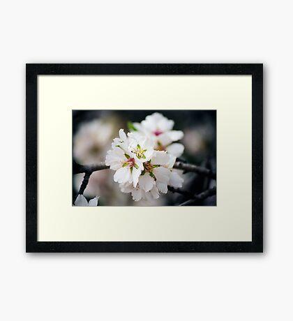 Flowering Almond Framed Print