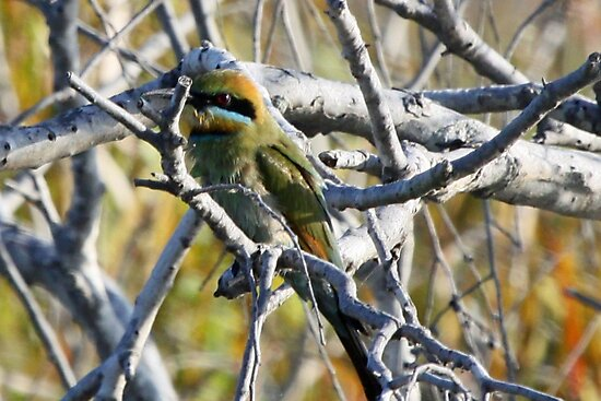 Rainbow Bee-eater by triciaoshea