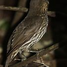 Tooth-Billed Bowerbird by triciaoshea