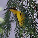 Sun Bird (Female) by triciaoshea