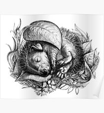 Baby hedgehog sleeping Poster