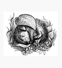 Baby hedgehog sleeping Photographic Print