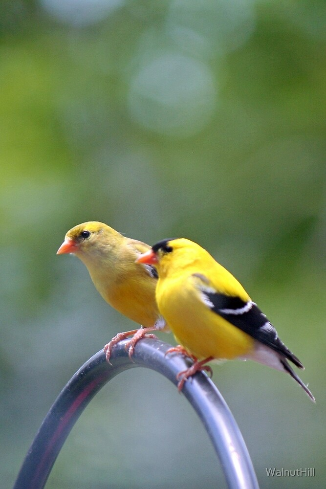Atticus G. Finch and Goldie Finch by WalnutHill