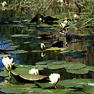 Water Lilies by Lindamell