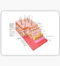 Anatomie der menschlichen Haut. Sticker