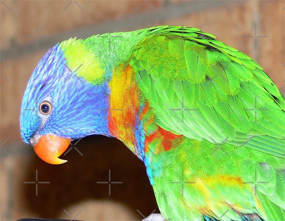 Rainbow Lorikeet by Sandra Chung