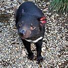 Tasmanian Devil by kies