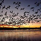 First Flight at Bosque del Apache by everpresent