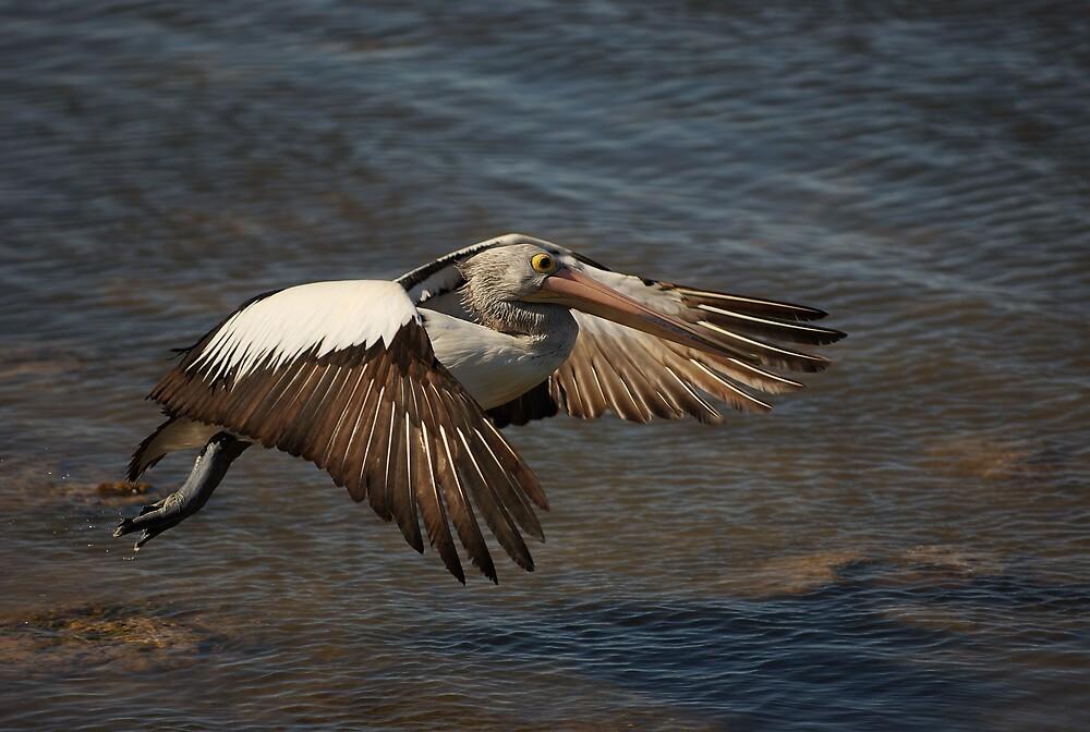Flying Pelican 2 by Geoffrey Chang