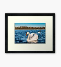 Beautiful white swan on the sun near the river with vivid blue water, natural wildlife Framed Print