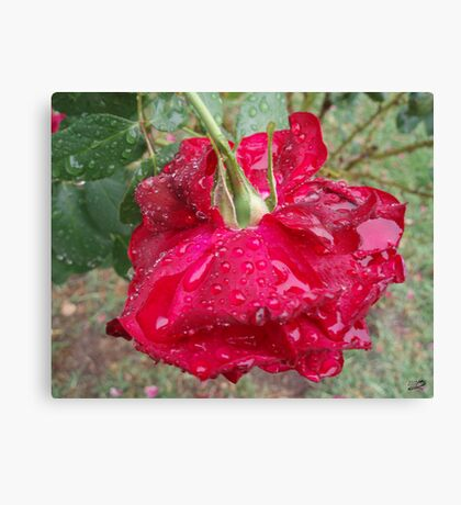 Rose Puddles Canvas Print