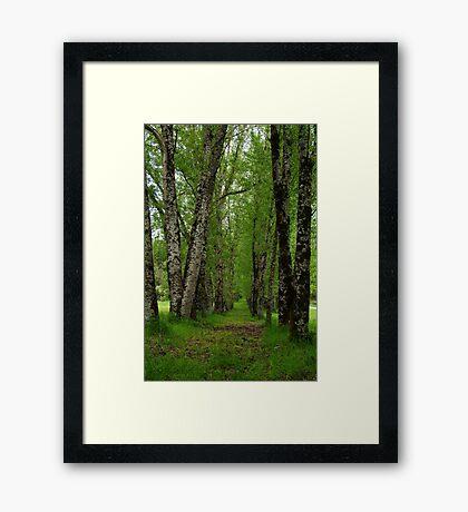 Silver Birch Trees, Otway Ranges Framed Print