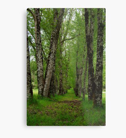 Silver Birch Trees, Otway Ranges Metal Print