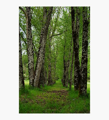Silver Birch Trees, Otway Ranges Photographic Print