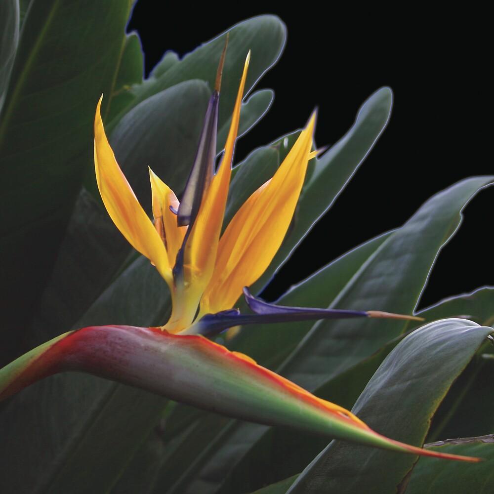 Bird of Paradise by Lisa Pitman