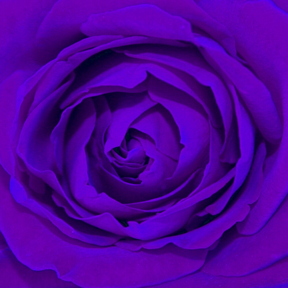 Purple Rose by Lisa Pitman