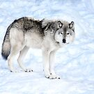 Oldest Wolf in the Pack_Timber Wolf by Poete100