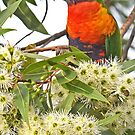 THIS BUNCH IS ALL MINE   -   Rainbow Lorikeet-View in Large Format by Leslie-Ann
