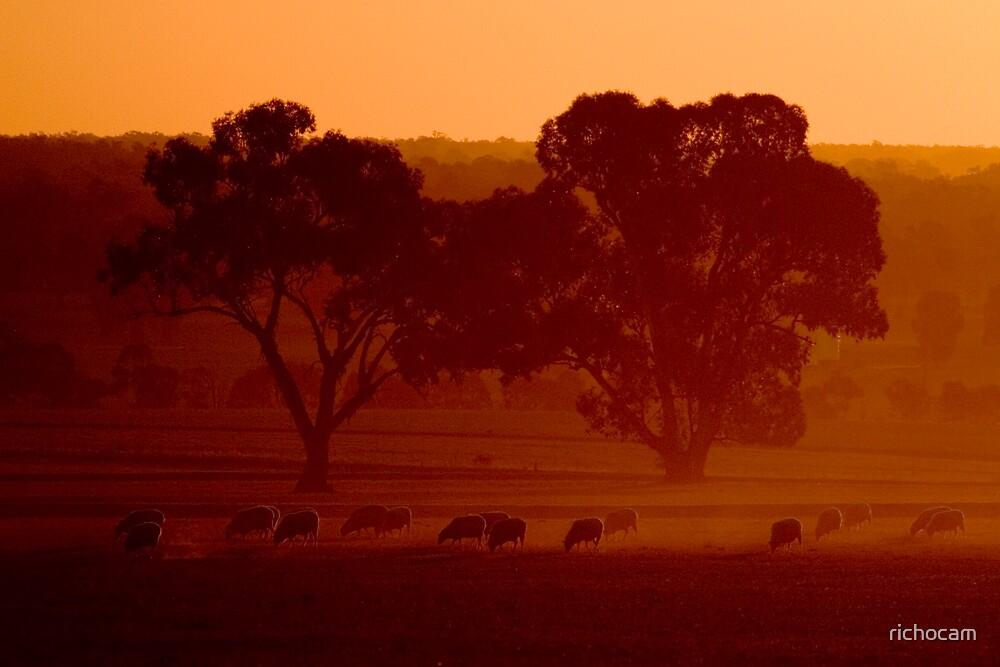 sheep by richocam