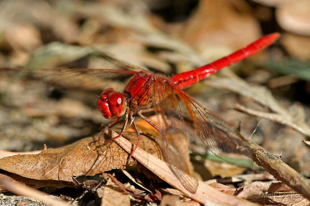 Red Dragonfly 4 by Mark Snelson