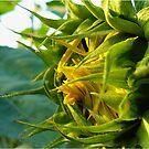 Sunflower Awakening by Linda Bianic