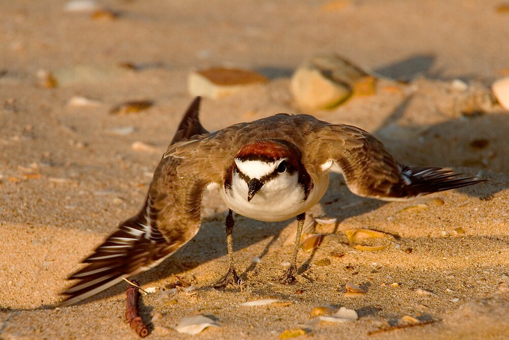 Red Capped Plover by RedChevy