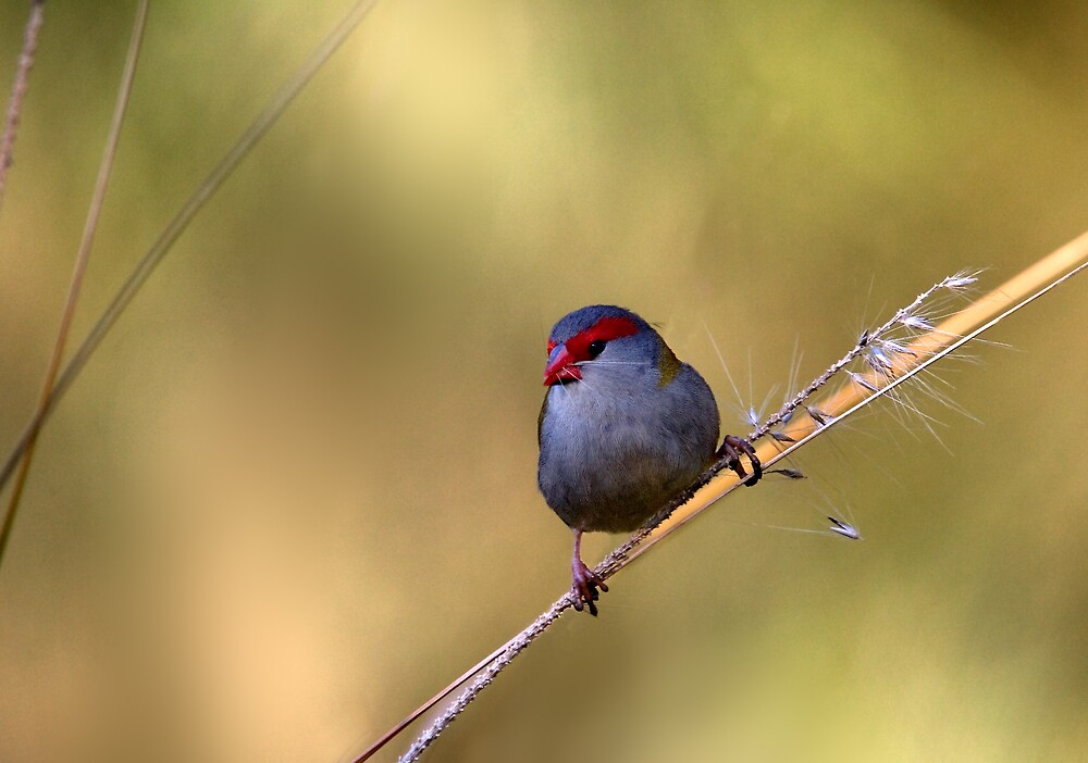 Red-Browed Firetail by RedChevy