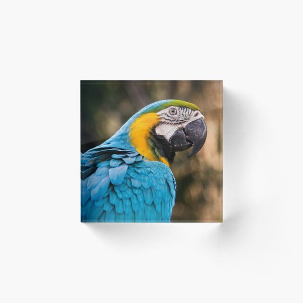 blue and yellow macaw Acrylic Block