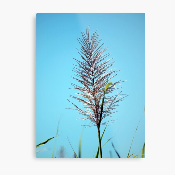 SUGAR CANE FLOWER Metal Print