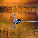 Pelican at Sunset Diamantina River by Joe Mortelliti