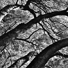 Arching Oaks by everpresent