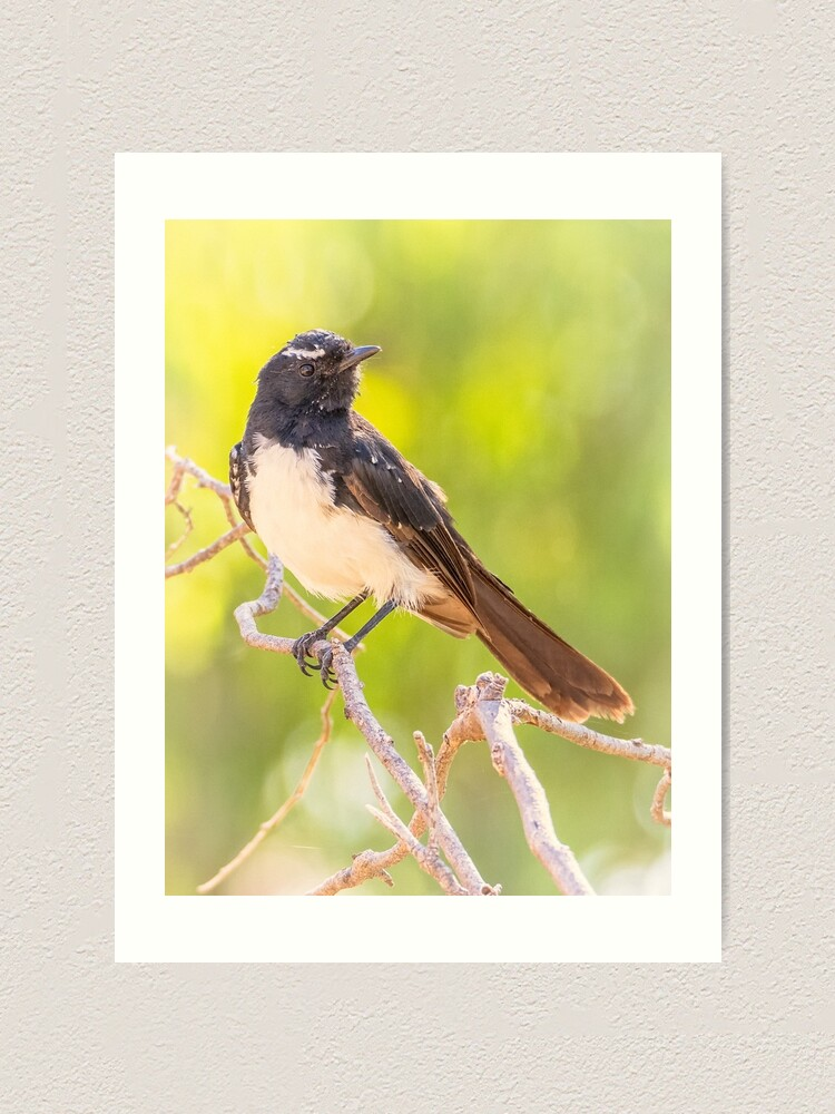 Alternate view of Willie Wagtail Art Print