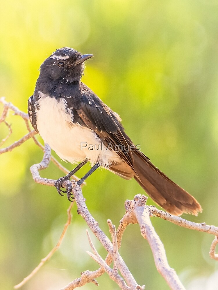 Willie Wagtail by AmyesPhotograph